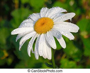 tusensköna, blomma, med, morgon, dagg