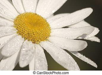 tusensköna, blomma, med, vatten, droppar