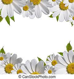 tusensköna, blomningen, gräns, med, avskrift tomrum
