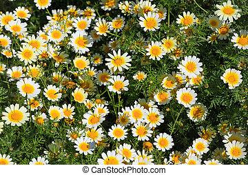 tusensköna, blomningen, som, bakgrund