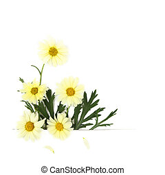 tusensköna, blomningen, vita, bakgrund