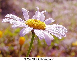 tusensköna, petals, höjande, med, dagg