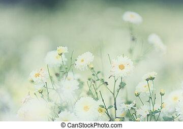 tusensköna, vit, blomma, natur