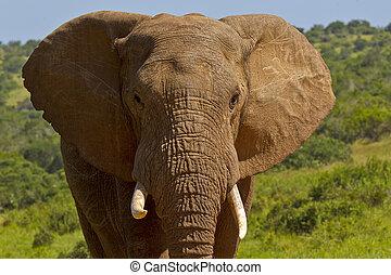 tusks, verticaal, hoofd, afrikaanse olifant