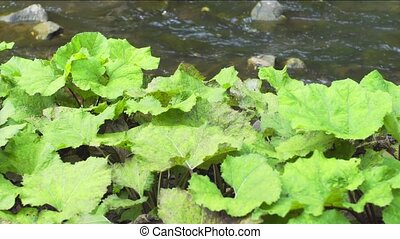 Tussilago farfara (coltsfoot) on the river bank. Ukraine. 4k...