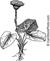 Tussilago farfara or Coltsfoot, vintage engraved illustration. Dictionary of words and things - Larive and Fleury - 1895.