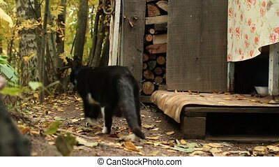 tuxedo cat goes on backyard - tuxedo cat walking along the...