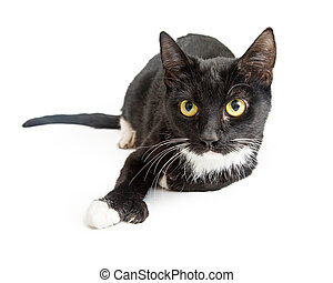 Tuxedo Cat With Six Toes - Black tuxedo cat lying down on ...
