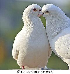 två, älskande, vit, duvor
