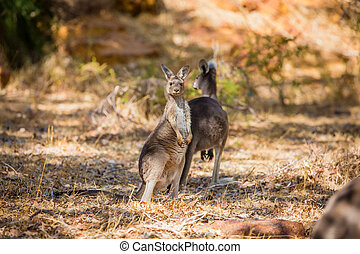 två, kängurur, in, den, vild