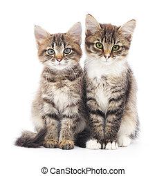 två, liten, kattungar