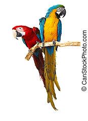 två, papegojor