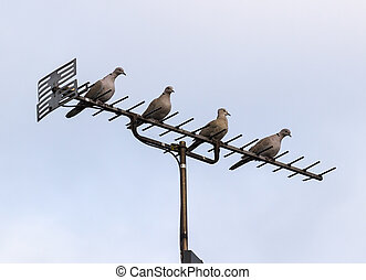 TV antenna or aerial with four doves - Four doves or pigeons...