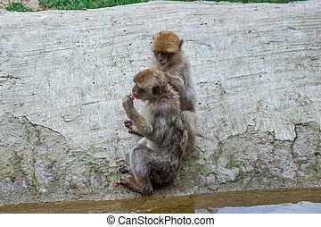 twee, aapjes