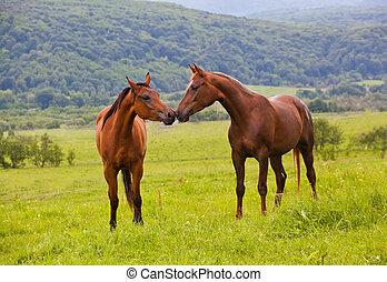 twee, arabische paarden