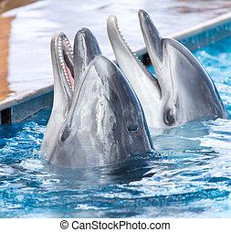 twee, dolfijnen, in, de, pool