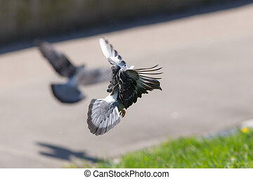 twee, duiven, tijdens de vlucht