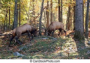 twee, elanden, vecht