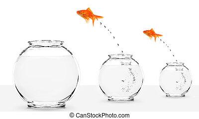 twee, goudvis, springt, om te, groter, fishbowls