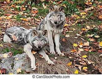 twee, grijze wolves, kijken naar van het fototoestel