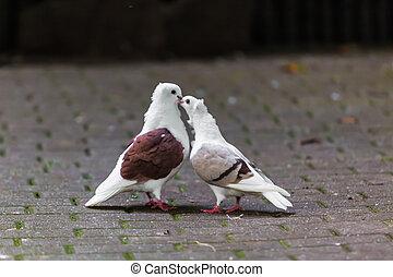 twee, hartelijk, doves., twee, duif