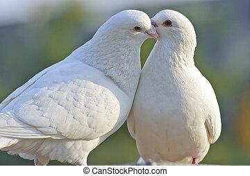 twee, hartelijk, witte duiven