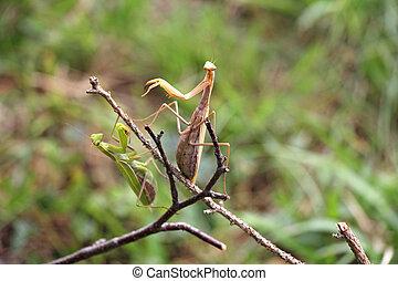 twee, het bidden mantis