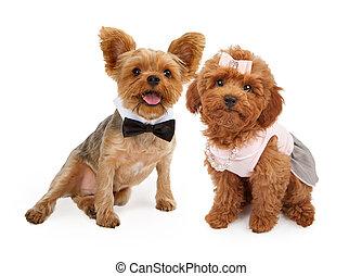twee, hondjes, gekleede op, voor, een, feestje
