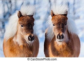 twee, kleine, pony's, in, winter