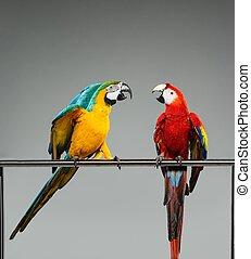 twee, kleurrijke, papegaaien, vecht, op, een, baars
