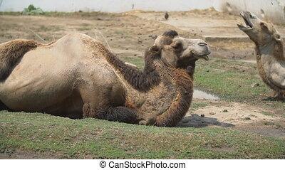 twee, leugen, wei, kamelen