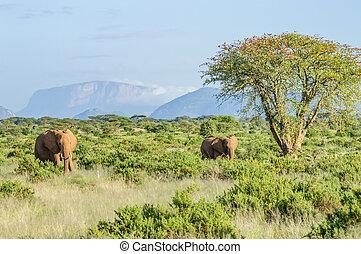 twee olifanten, in, de, savanne