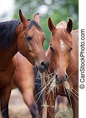 twee, paarden, eten, hooi