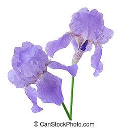 twee, paarse , iris, bloemen