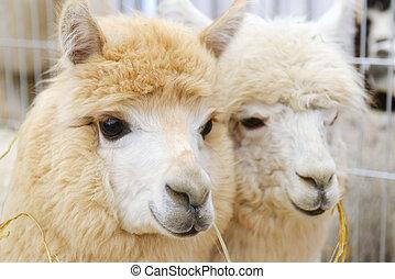 twee, pluizig, alpacas