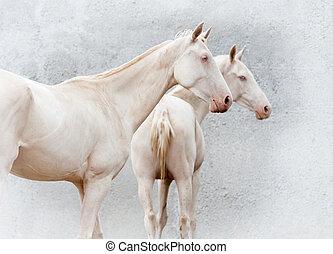 twee, van, zelden, purebred, akhal-teke, paarden, closeup, op, de muur, backg