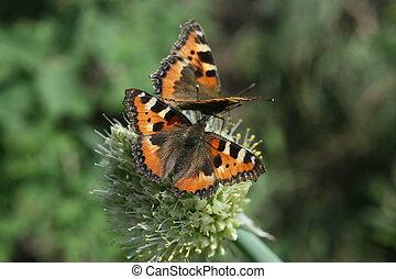 twee, vlinder, eruptie, op, de, flowered, allium