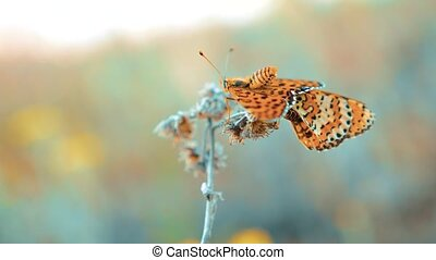 twee, vlinder, mate., groot, tortoiseshell, nymphalis,...