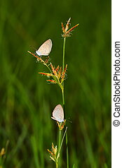 twee, vlinder, op, een, gras