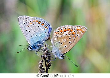 twee, vlinder, zetten, op, een, bloem