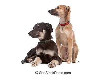 twee, whippet, puppy, honden