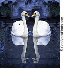 twee, witte zwaan