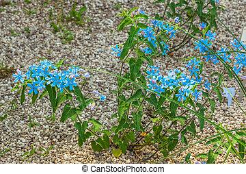Tweedia caerulea, Apocynaceae, Brazil - Uruguay