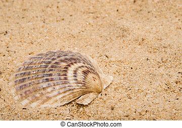 tweekleppig schelpdiershell
