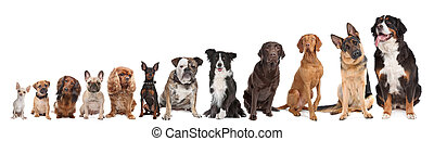 twelve dogs in a row. from small to large. on a white ...