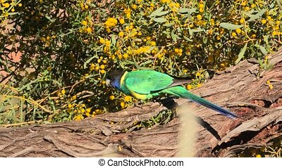 Twenty eight Parrot - green Twenty-eight Parrot, Barnardius ...