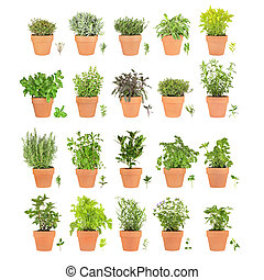 Large herb selection in terracotta pots with leaf sprigs. Varieties of spearmint, bay, flat leaved and curly parsley, rosemary, basil, oregano, purple sage, golden thyme, silver thyme, lavender, garden thyme, variegated sage, golden marjoram, lemon balm, tarragon, hyssop, chocolate mint, bergamot, ...