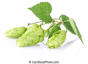 twig aromatic hop with green leaf isolated on white...