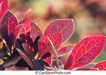 Twig Barberry Thunberg with red leaves close up, natural plant background