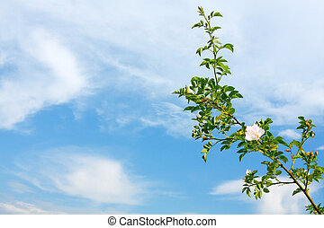 Twig of a rose on the blue sky